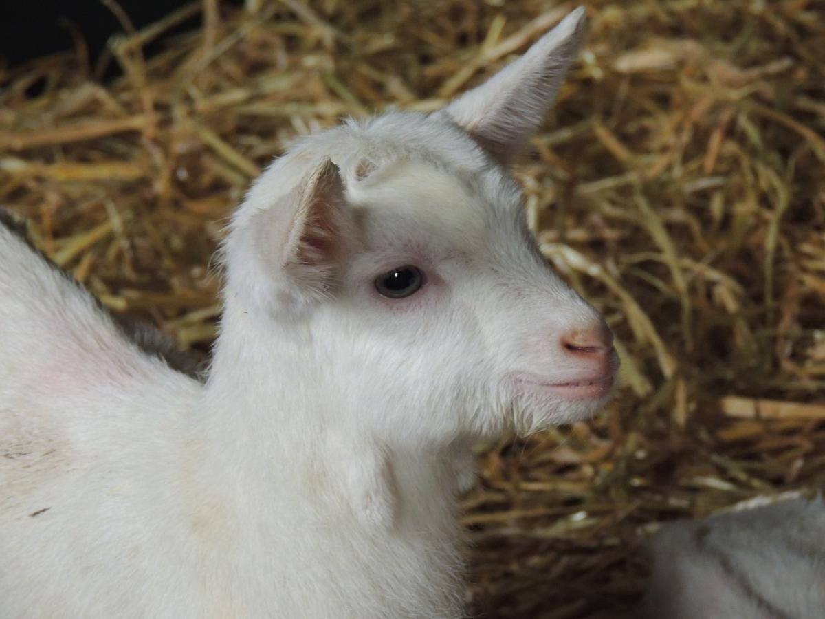 Goats   4D4F